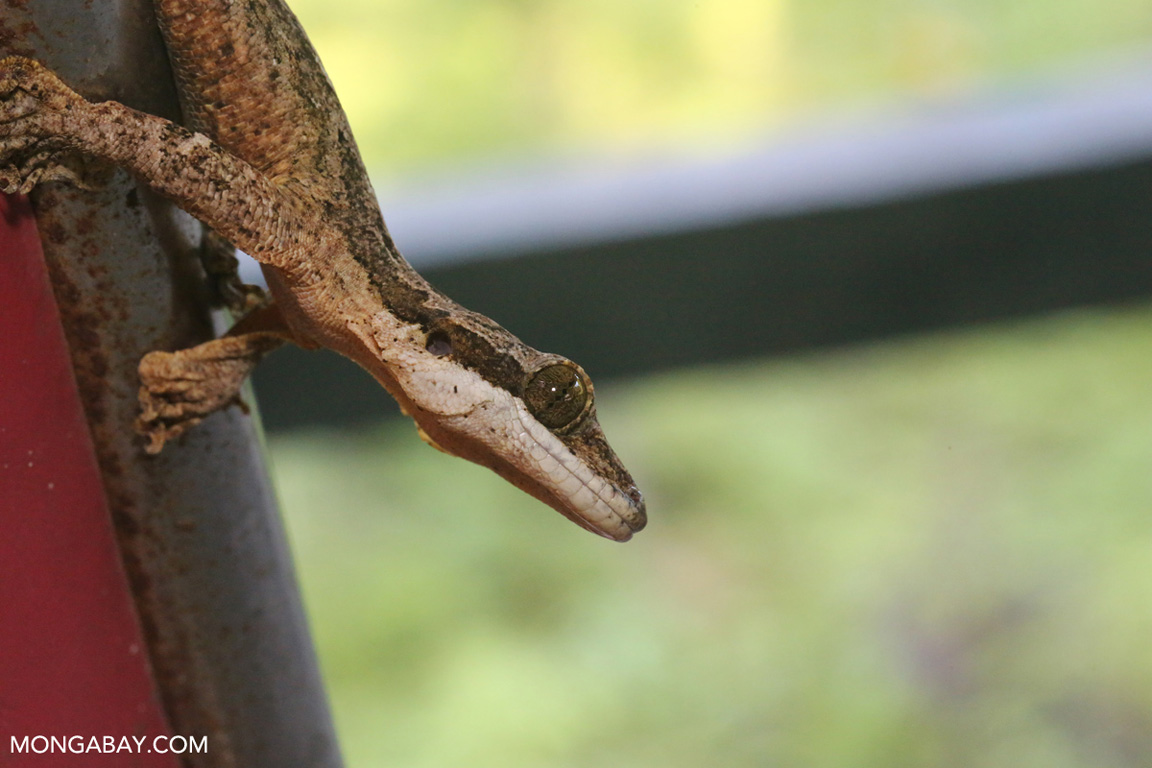 Flying gecko in the wild