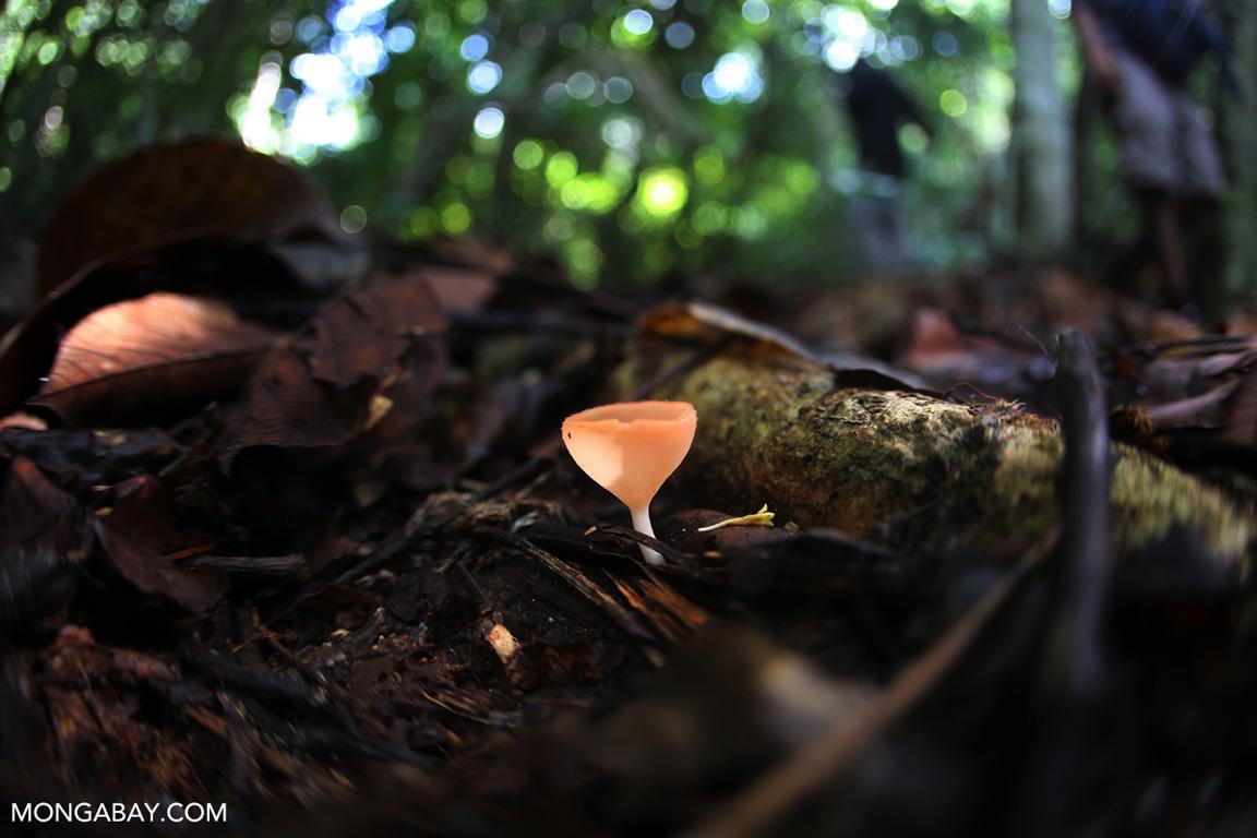 Orange cup fungi