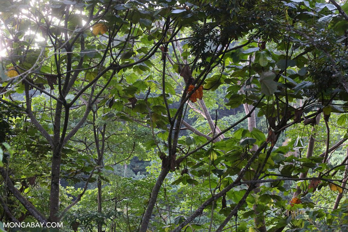 Sumatran rainforest canopy