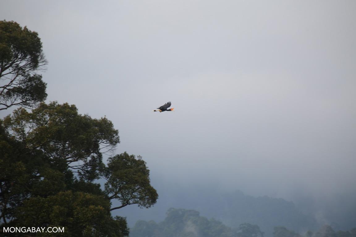 rhinoceros hornbill in flight