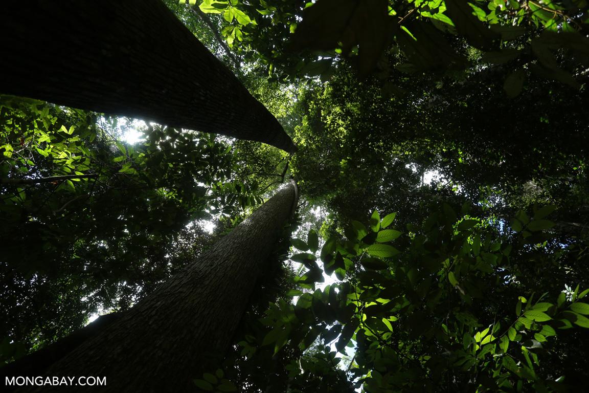 Forest interior in Sumatra