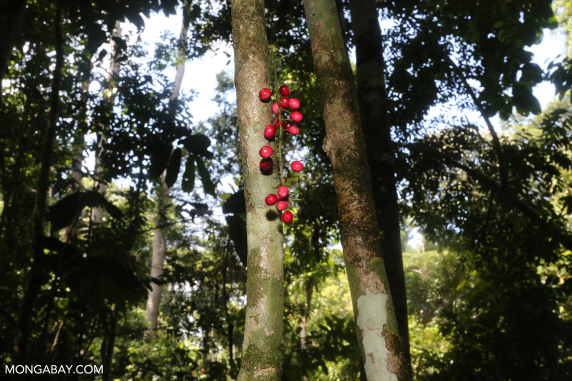Red rainforest fruit