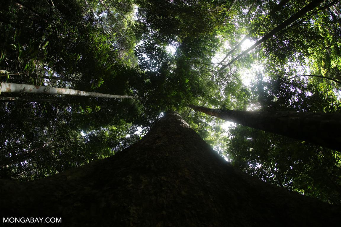 Dipterocarp tree