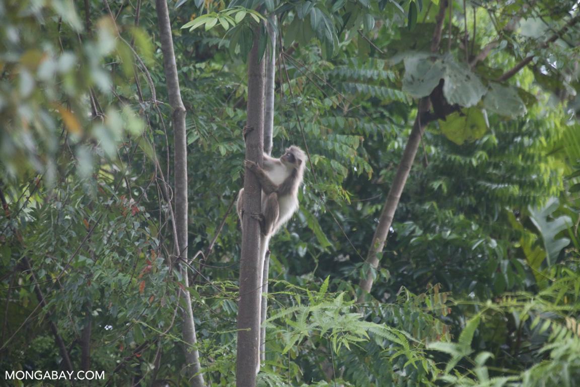 Sumatran surili (Presbytis melalophos)