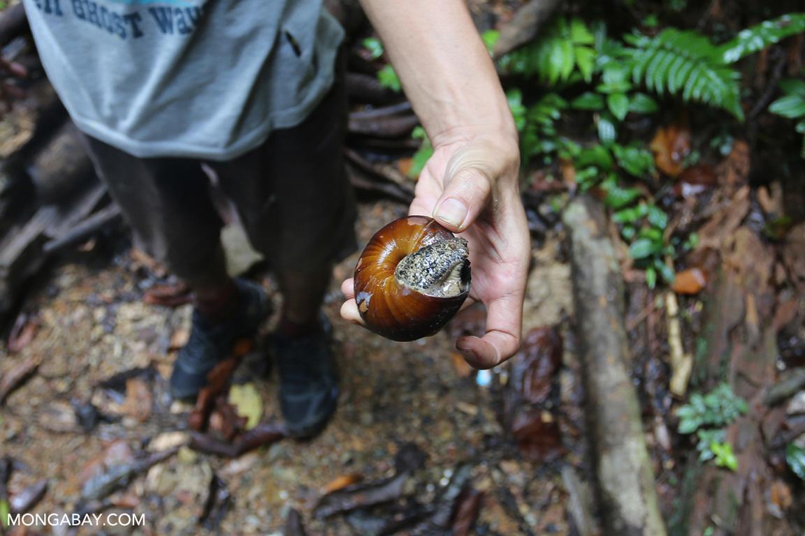 Snail in Sumatra
