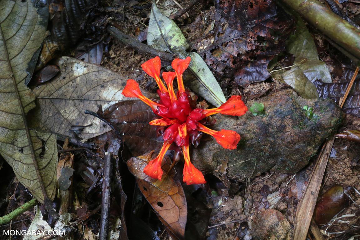 Red finger flower