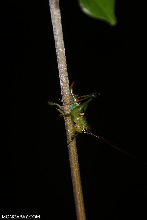 Colorful katydid
