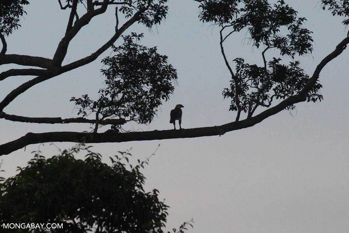Sumatran hawk