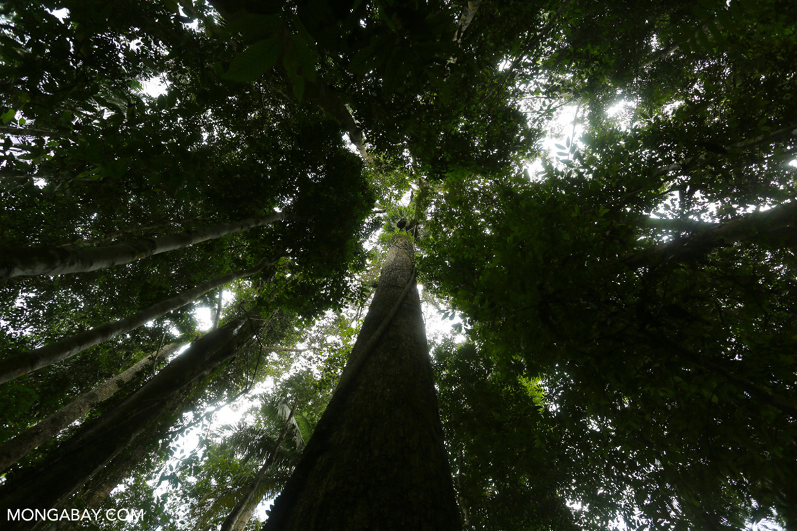 Dipterocarp in Sumatra