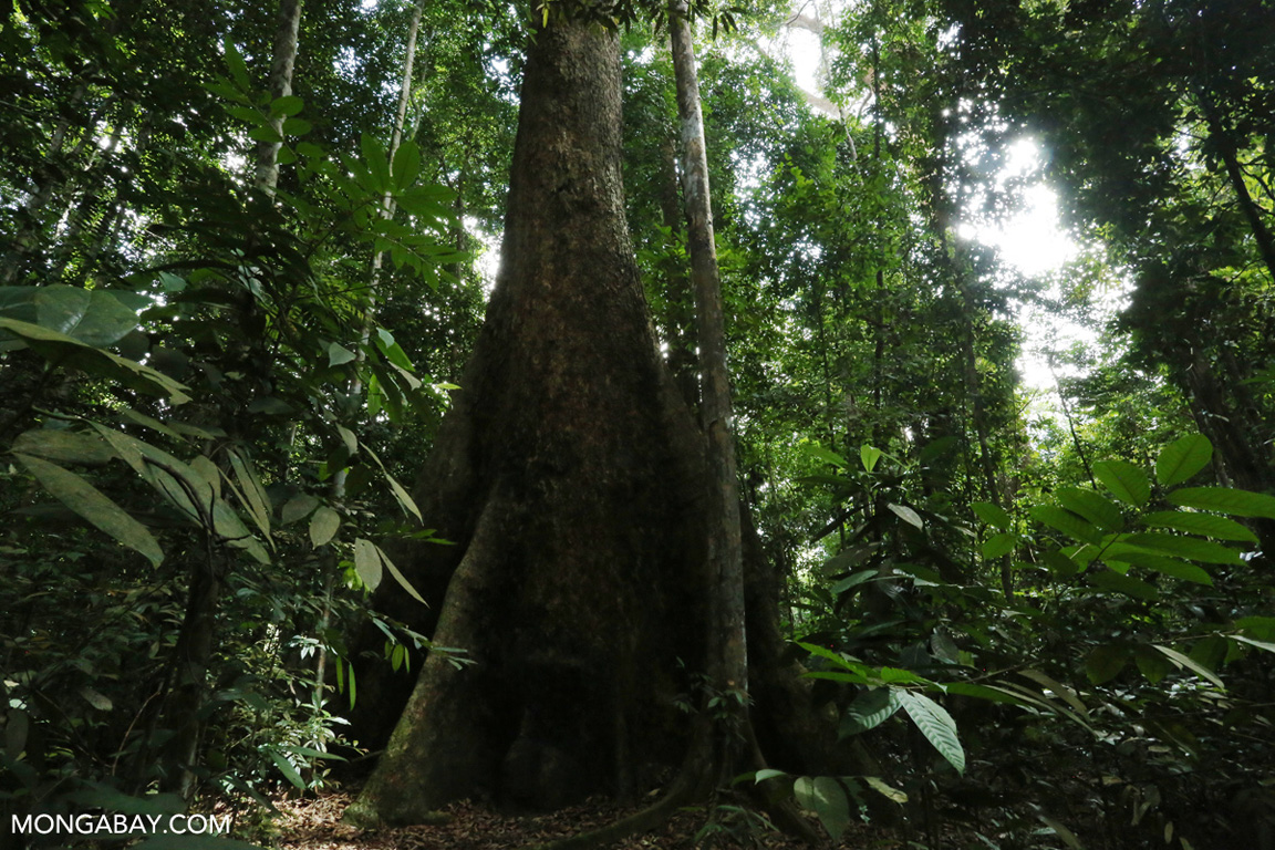 Giant dipterocarp in Sumatra
