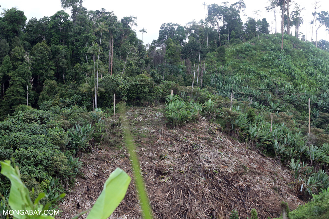 Deforestation in the buffer zone of Bukit Tigapuluh