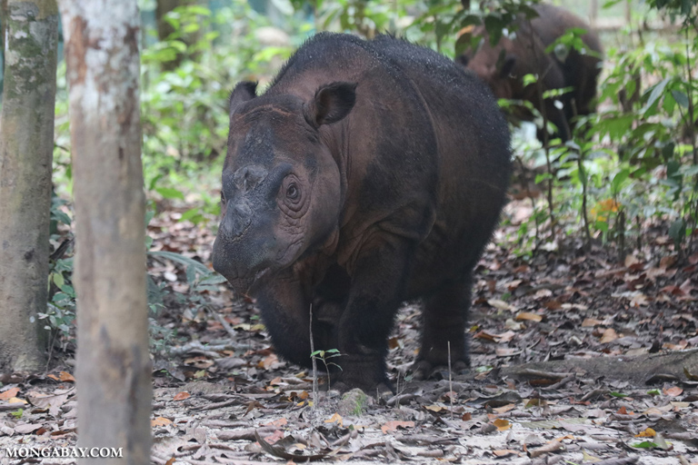 Sumatran rhino at the Sumatran Rhino Sanctuary