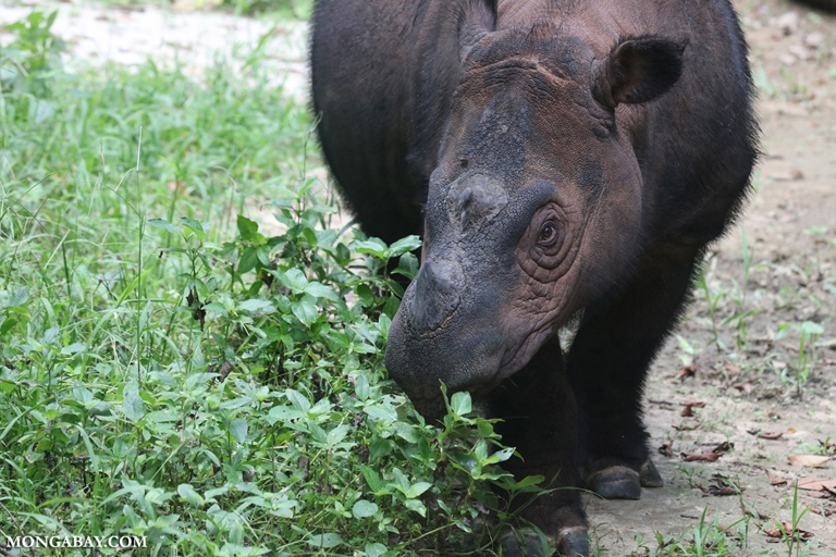 Female Sumatran rhino