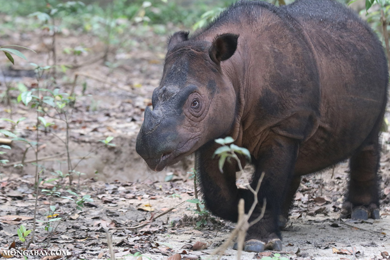 Badak sumatera yang ada di Way Kambas, Lampung. Foto: Rhett Butler