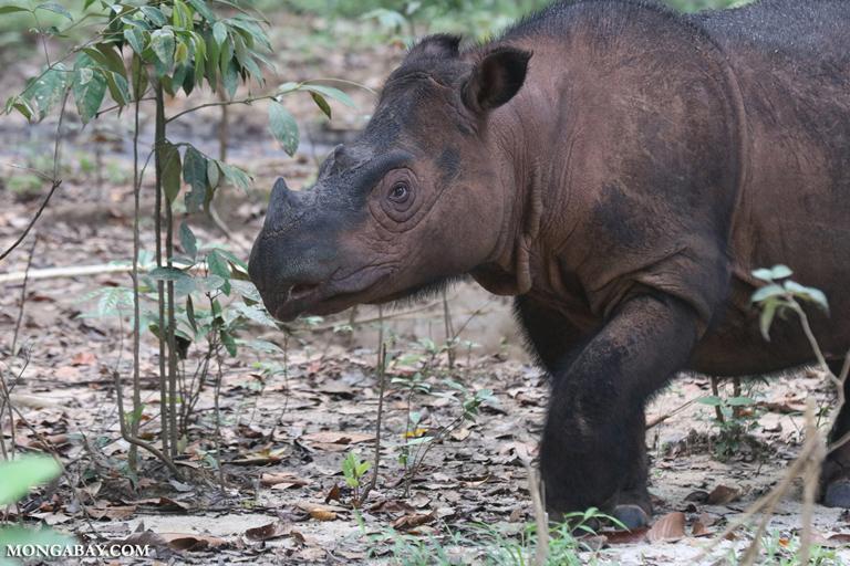 Female Sumatran rhino