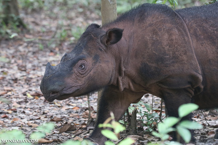 Sumatran rhino at the Sumatran Rhino Sanctuary