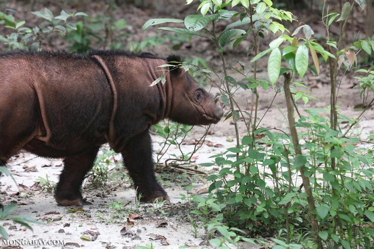 Baby Sumatran rhino