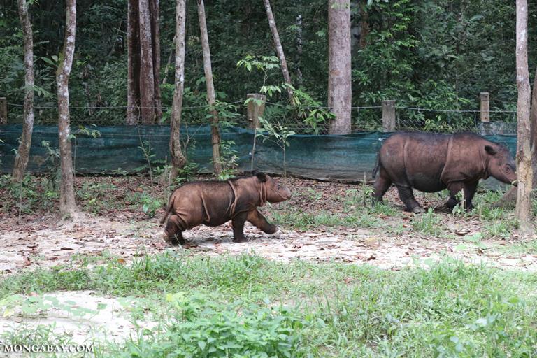 Mother Sumatran rhino with calf