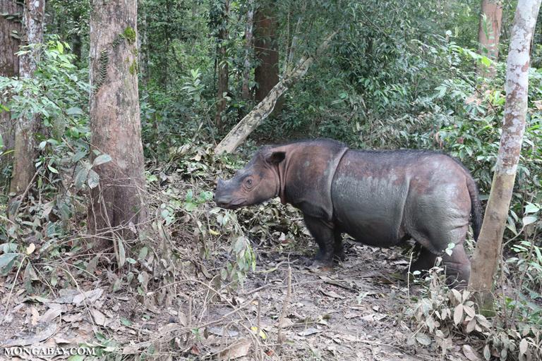 Mother Sumatran rhino
