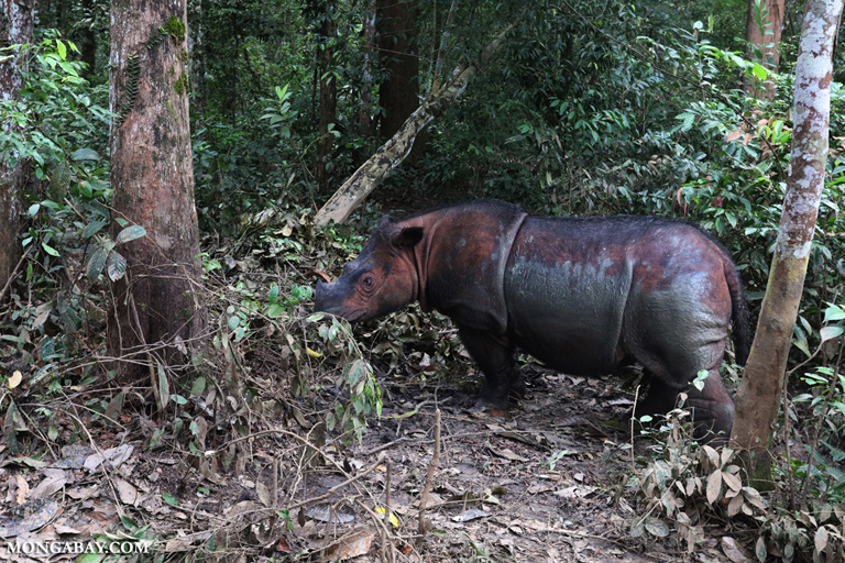 Mother Sumatran rhino