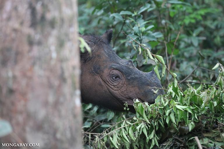 Badak sumatera yang saat ini jumlahnya diperkirakan tidak lebih dari 100 individu. Di TNKS, yang dulunya disebut sebagai gudangnya badak, kini sudah tidak ditemukan lagi. Foto: Rhett Butler