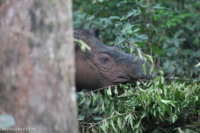 Sumatran rhino in SRS