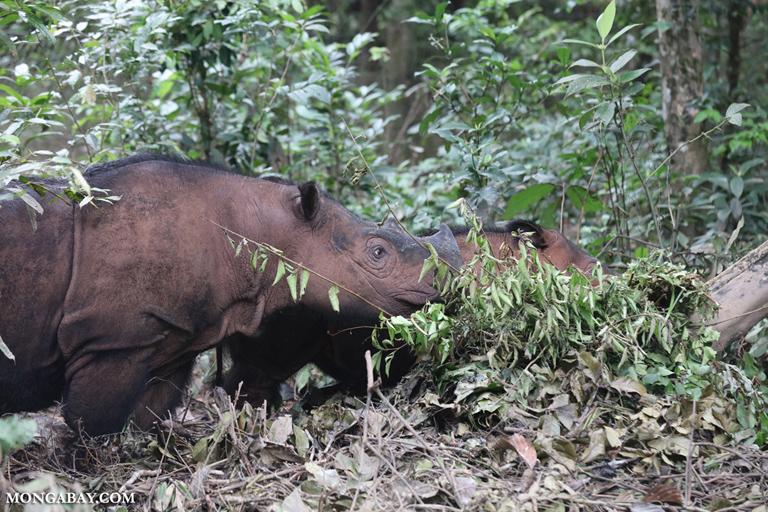 Mama Sumatran rhino with calf