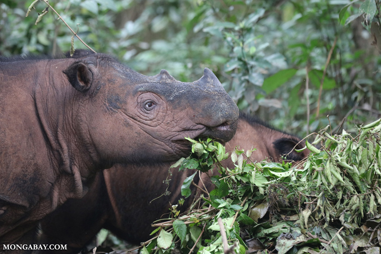 Mama Sumatran rhino with calf