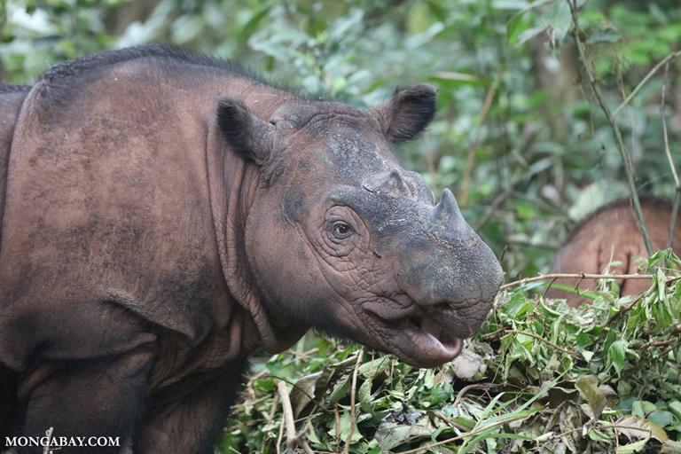 Female Sumatran rhino with calf