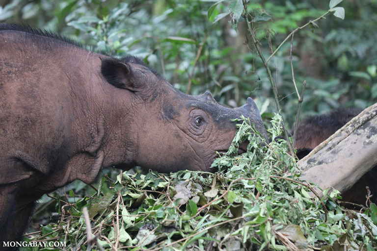 Female Sumatran rhino with calf