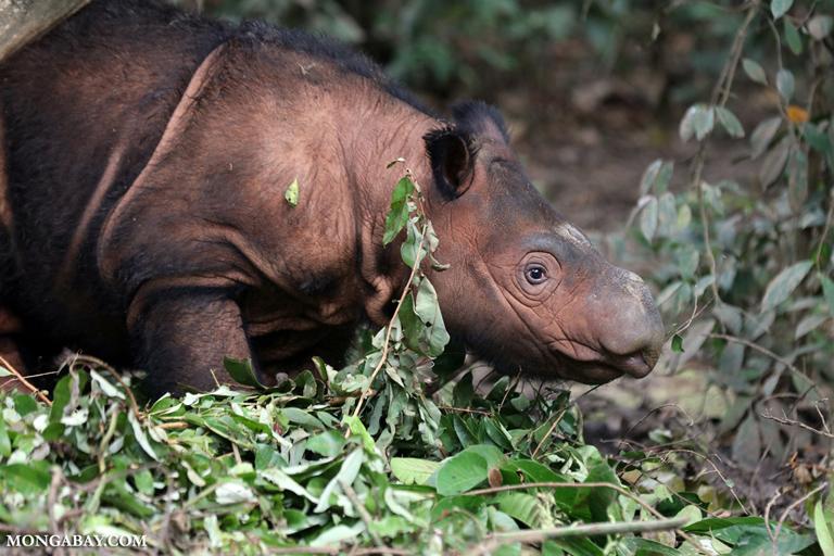 Badak sumatera memiliki pendengaran dan penciuman yang tajam. Tubuhnya juga dipenuhi rambut yang pendek dan kaku. Foto: Rhett Butler