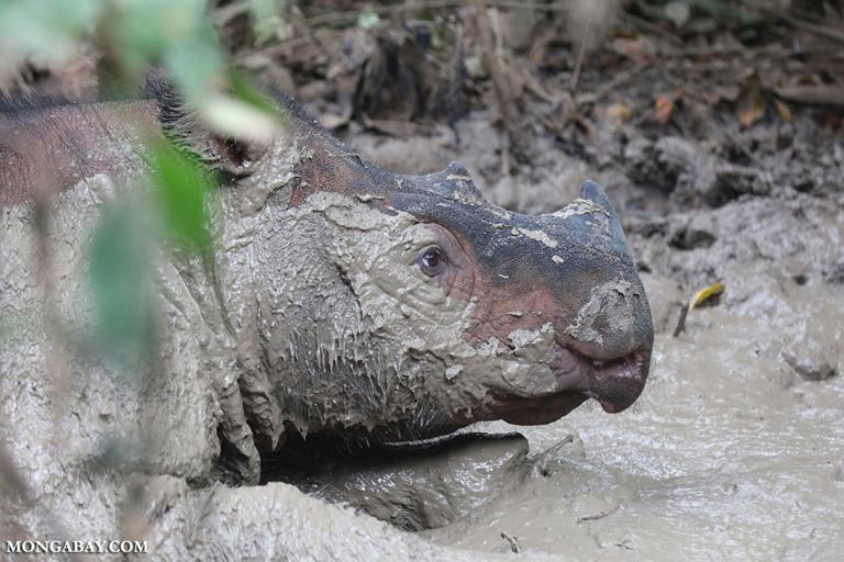 Sumatran rhino in a mud hole