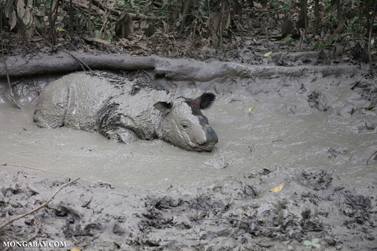 Badak sumatera tidak hanya tersebar di Sumatera tetapi juga ada di Kalimantan Timur. Foto: Rhett Butler