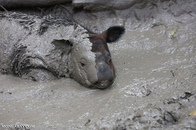 Baby Sumatran rhino in a wallow