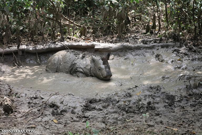 Baby Sumatran rhino in a wallow
