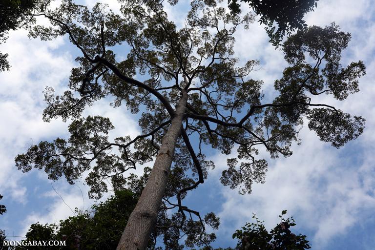 Rainforest tree in Way Kambas