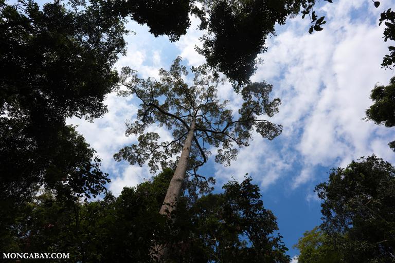 Menjaga kehidupan badak berarti kita turut menjaga kelestarian hutan karena badak berperan penting dalam ekosistem hutan. Foto: Rhett Butler