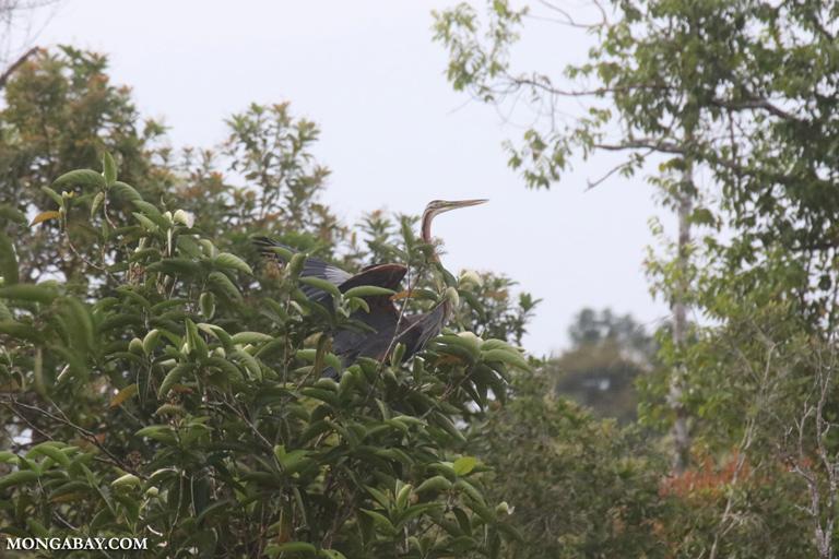 Sumatran heron