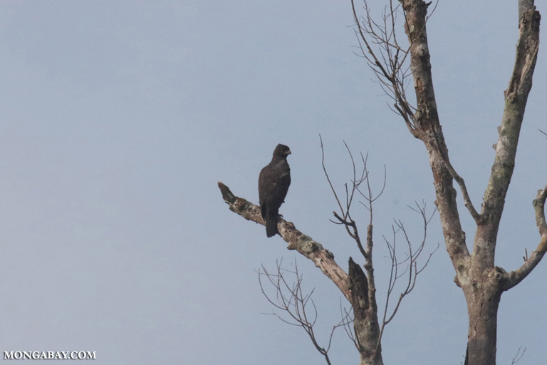 Changeable hawk-eagle (Nisaetus cirrhatus)