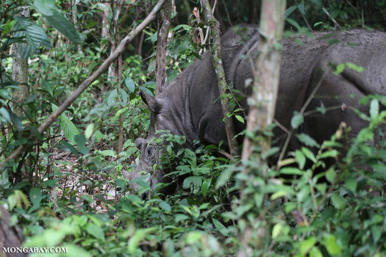 Male Sumatran rhino