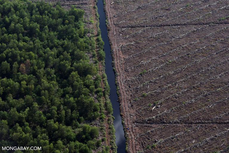 Acacia plantation on peatland