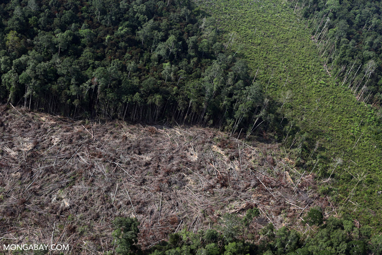 Peat forest cleared for palm oil