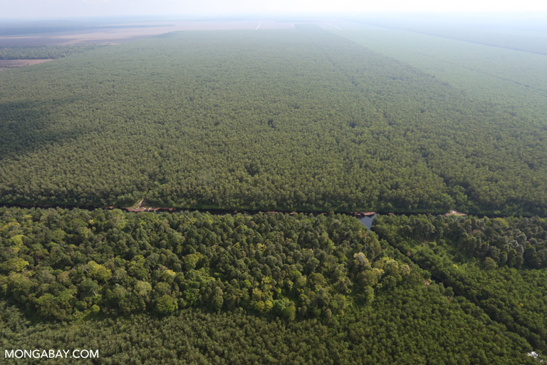Forest reserve in an oil palm plantation