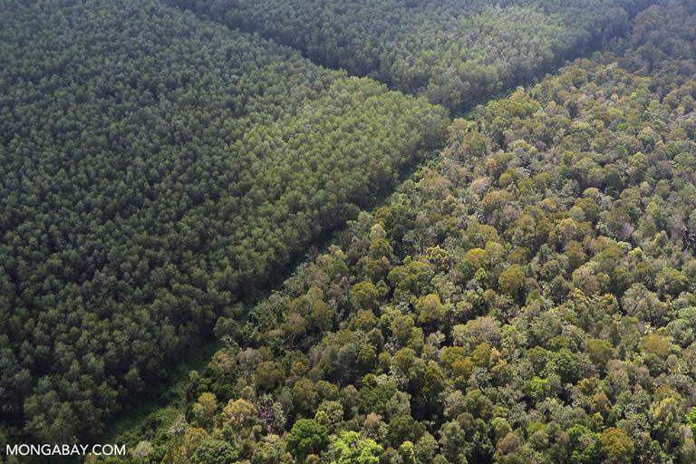 Acacia plantation and natural forest