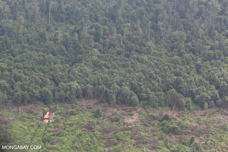 Cleared peatland being planted with oil palm trees