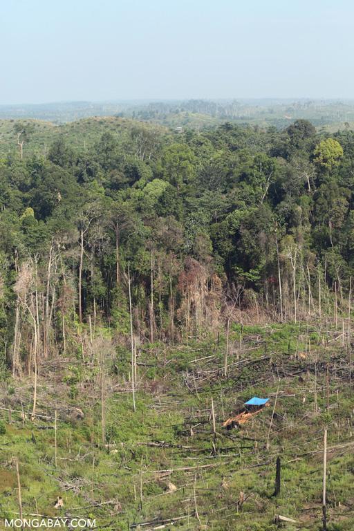 Illegal logging for palm oil in Tesso Nilo