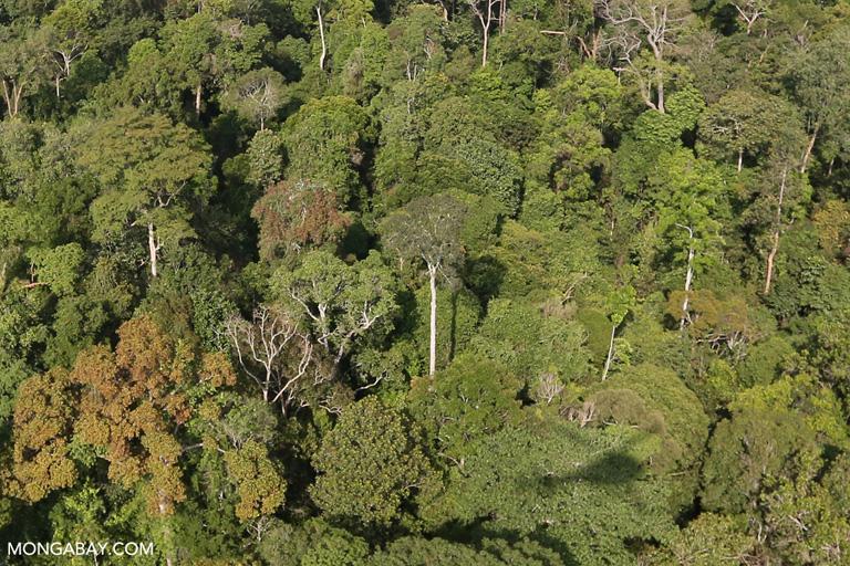 Tesso Nilo rainforest