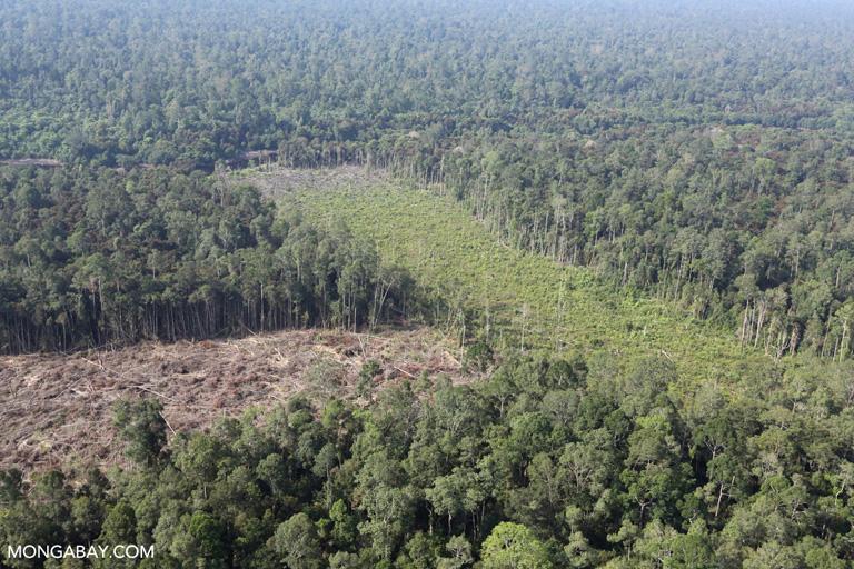 Illegal deforestation for palm oil