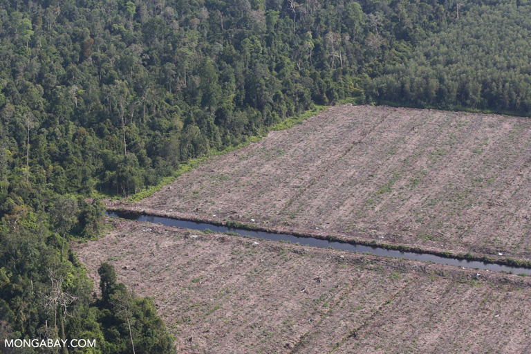 Peat forest cleared for industrial acacia