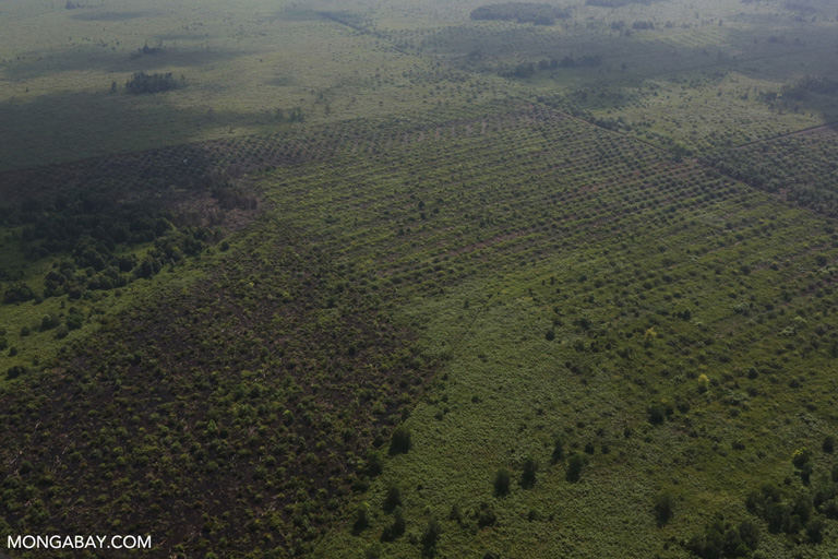 Forest cleared for palm oil